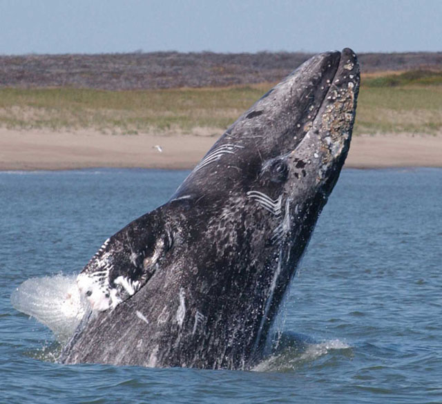 images of gray whales - photo #6