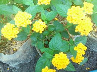 http://tukangtamankaryaalam.blogspot.com/2016/02/pohon-lantana-saudi-pohon-bunga-lamtana.html