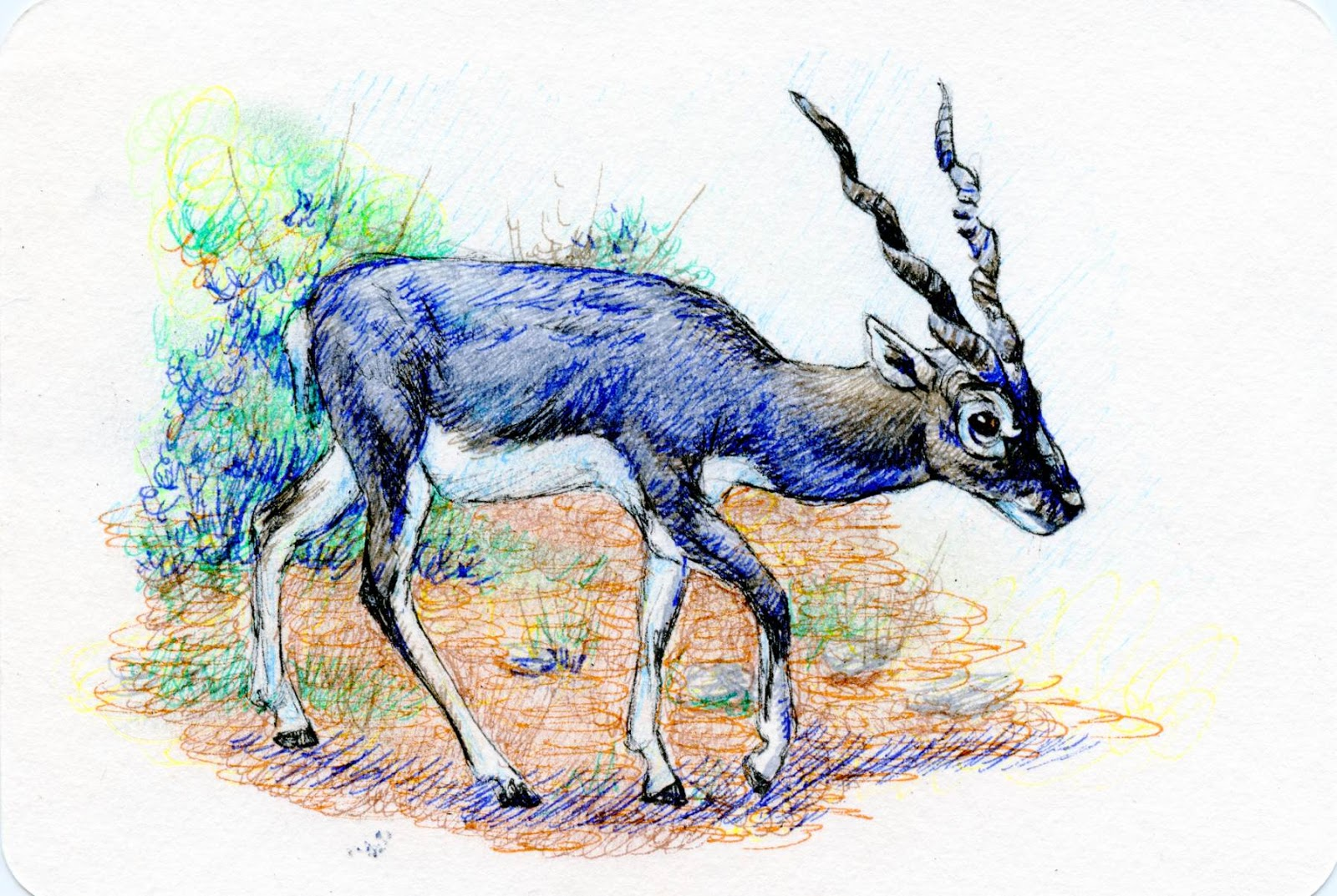 Postcards for the Lunch Bag - Blackbuck