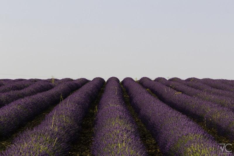 Campos de cultivo de lavanda en Brihuega, Guadalajara (La Alcarria) Provenza española