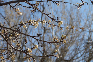Bradford Pear almost blooming