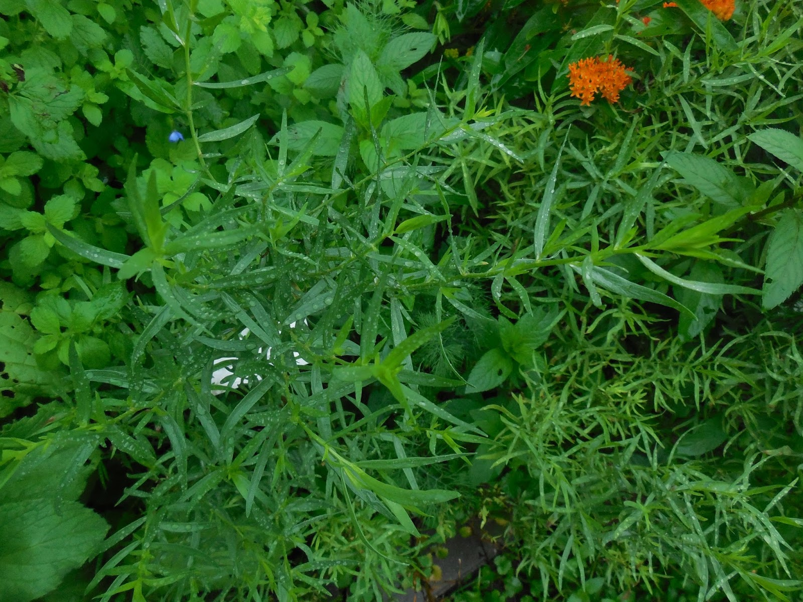 backyard patch herbal blog herb of the week cooking with herbs