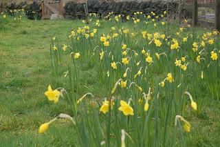 daffodils, life on pig row