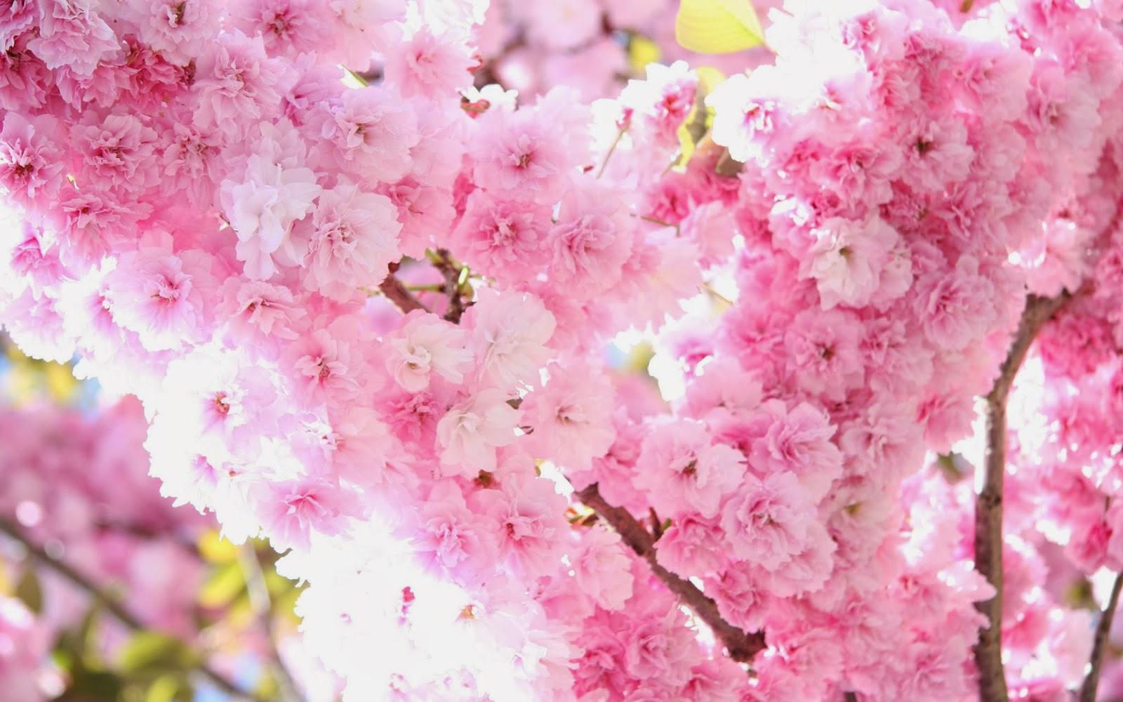 Beauty Walpaper Sakura Flower Wallpaper