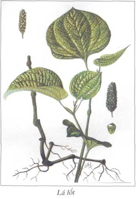 Lá Lốt - Piper lolot - Nguyên liệu làm thuốc Chữa Tê Thấp và Đau Nhức