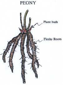 peony, roots, flower, peonies, garden, gardening, planting