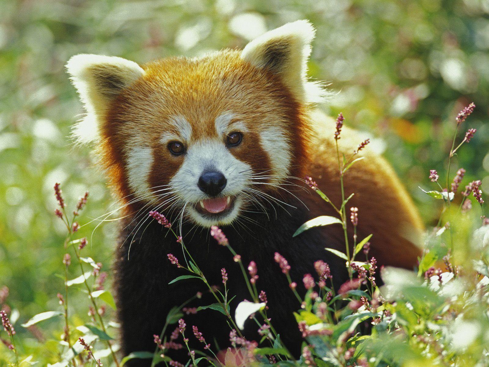Cloroc Bleach: Red Panda