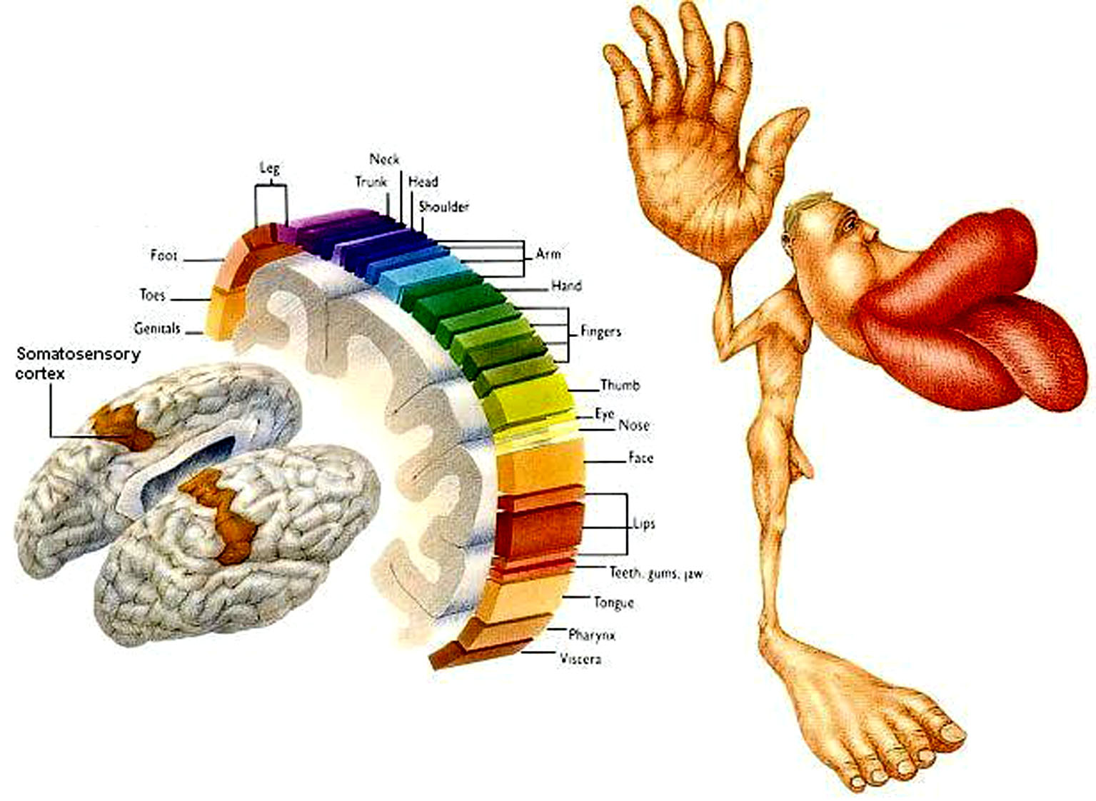 foot nerve endings diagram house wiring diagrams with pictures ein bewusster weg zur selbsthilfe bei bruxismus