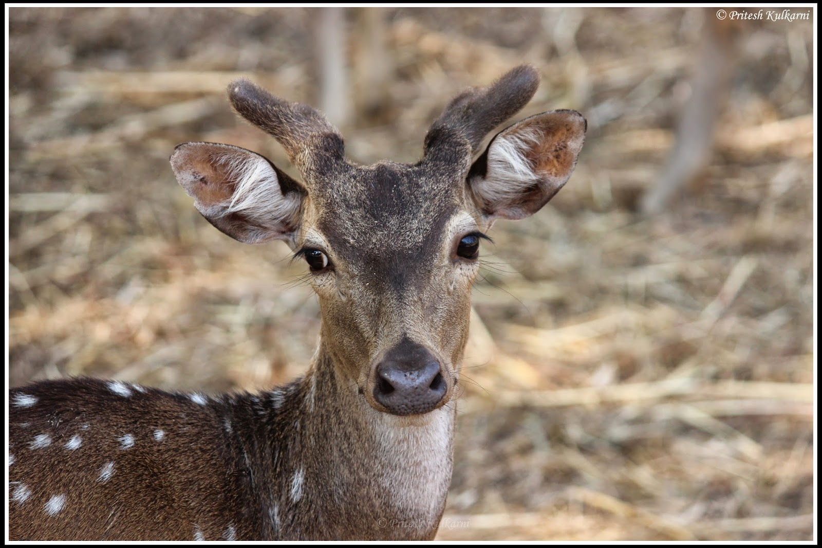 Spotted deer at Bhadra