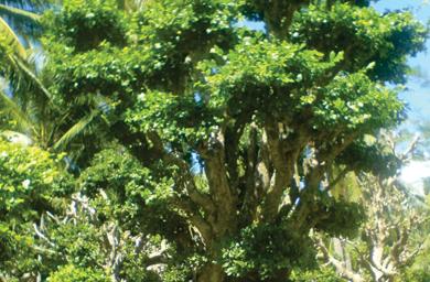 gambar pohon serut di dunia mistis