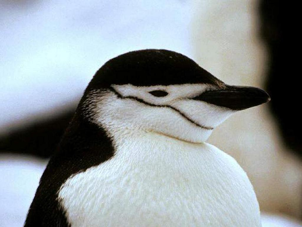 Cute Wallpapers Of All Kind Of Animals Lovely Wallpapers Penguin Birds Cute Wallpapers