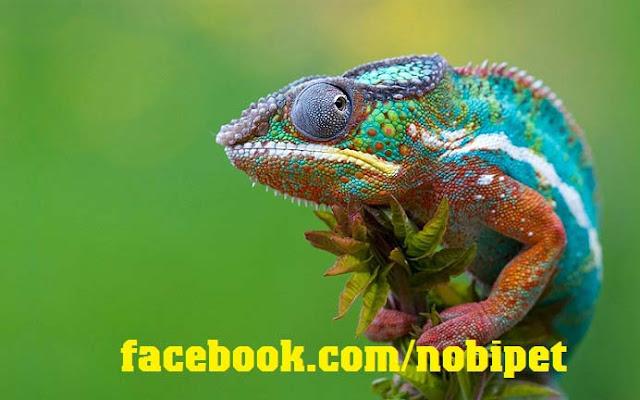 ban-veiled-chameleon-tac-ke-hoa-doi-mau-tai-da-nang