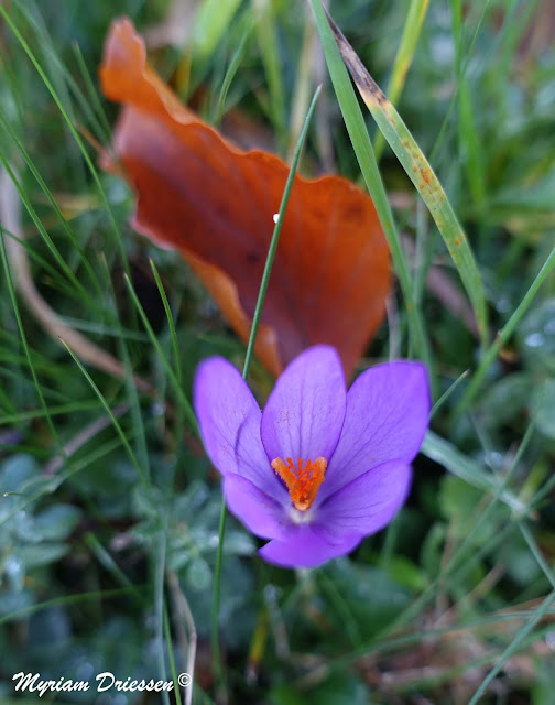 Crocus nudiflorus