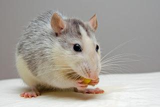 tikus di rumah burung walet