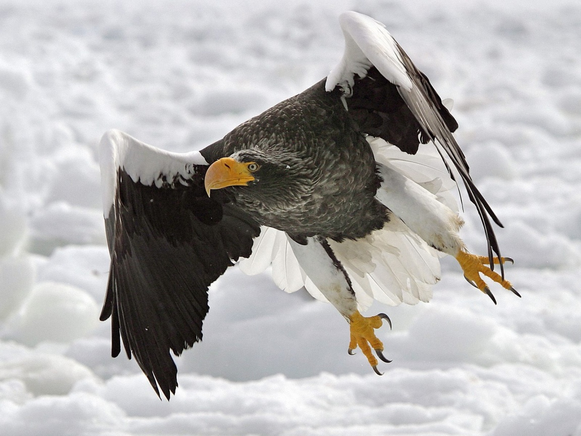 Golden Eagles Flying Wallpaper O Livro da Natureza: &...