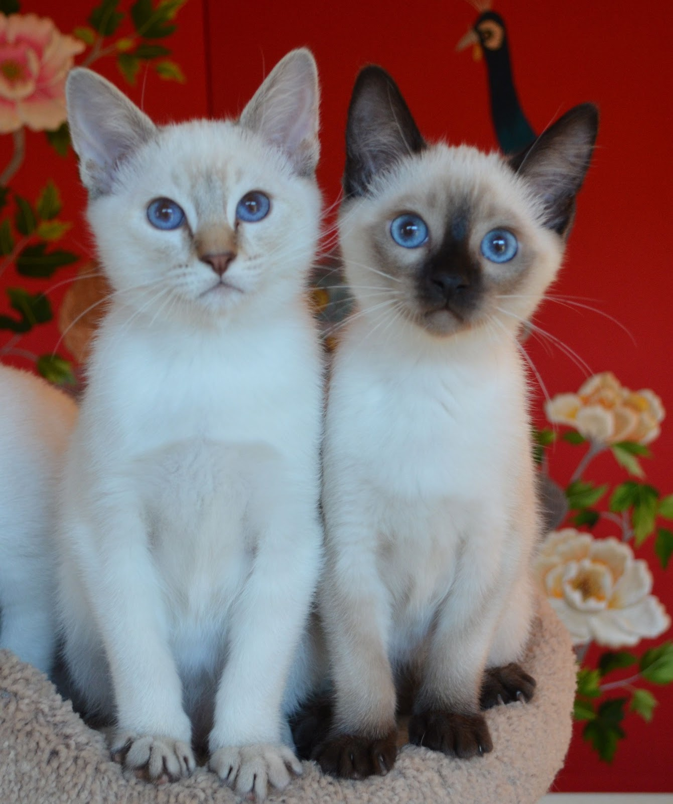 Now Available Balinese/Siamese Kittens | Baliwest