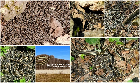 Narcisse-Snake-Pits-كندا-حفر-ثعابين-نارسيس