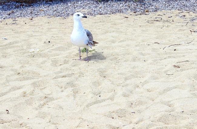 galeb na plazi
