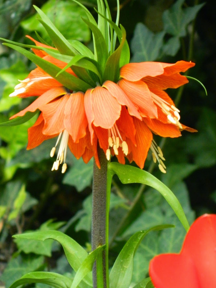Crown Imperial Fritillaria imperialis Centennial Park Conservatory 2015  Spring Flower Show by garden muses-not another Toronto gardening blog