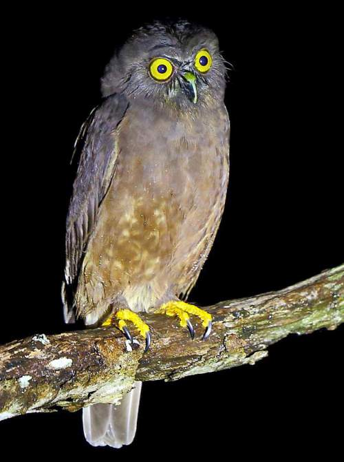 Indian birds - Photo of Hume's hawk-owl - Ninox obscura