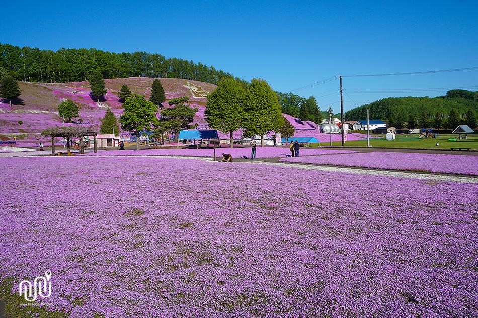 เทศกาลชมทุ่ง Pink Moss ที่ Higashimokoto Shibazakura Park