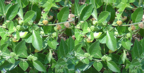 Ashwagandha for Anti-Inflammatory Properties
