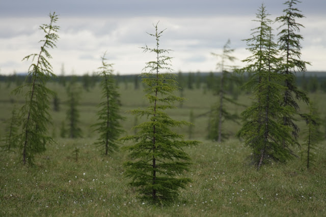 Siberian larch forests are still linked to the Ice Age