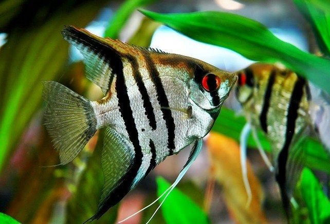 73. Jenis Ikan Hias Aquascape Angelfish