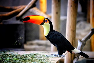 ブラジルの国鳥オニオオハシ写真