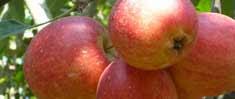 petik apel batu malang, www.wisatapetikapelmalang.blogspot.com, 085755059965