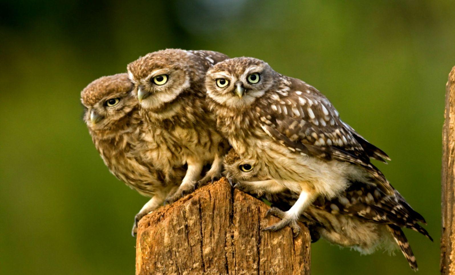 Owl Bird Nature Landscape HD POSTER
