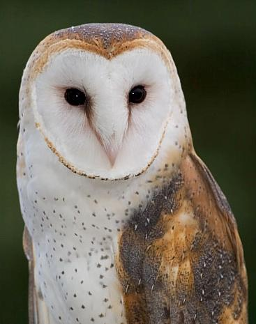 The Owl's Perch: The [un]Common Barn Owl