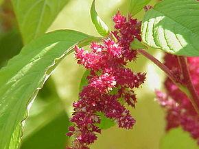 https://fr.wikipedia.org/wiki/Amarante_(plante)