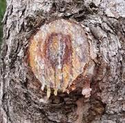 gambar manfaat getah tanaman pohon pinus 2016