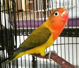 burung lovebird euwing