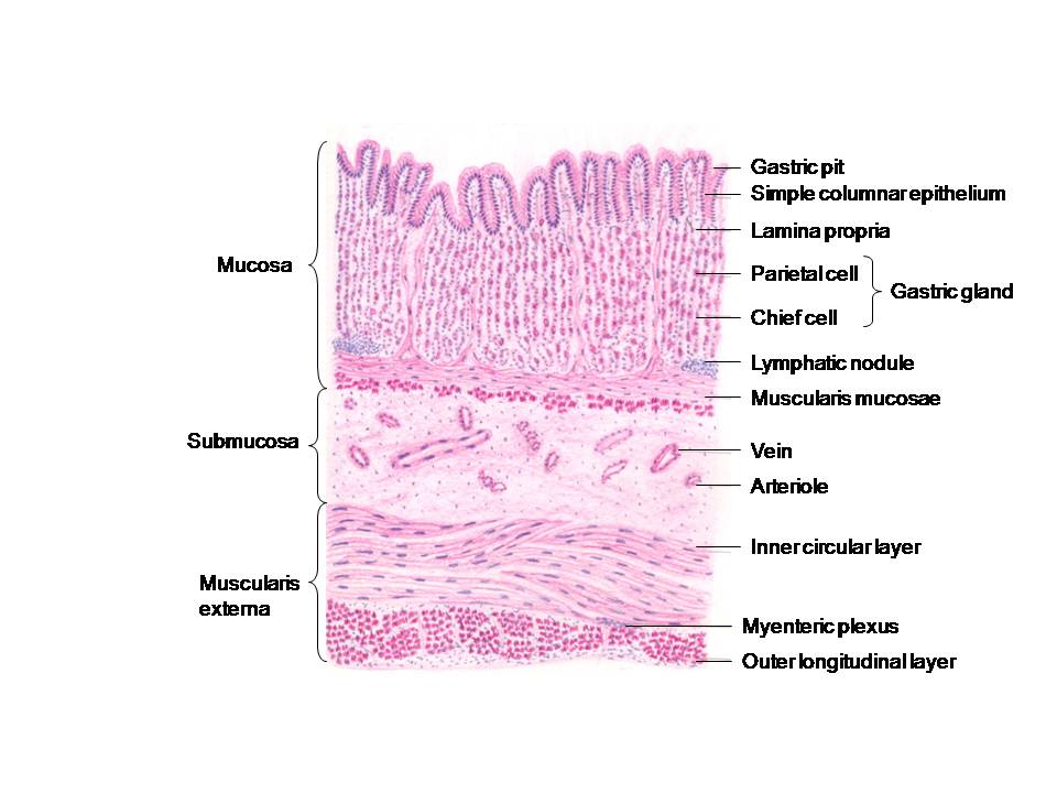 HISTOLOGY DIAGRAMS: Special histology specific points
