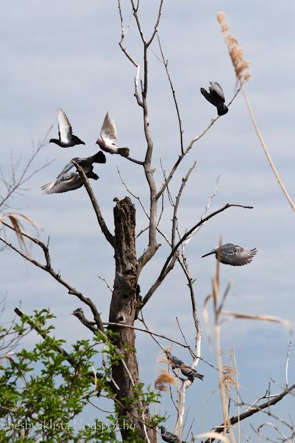 Ijedt galambok repülnek fel egy kiszáradt fáról