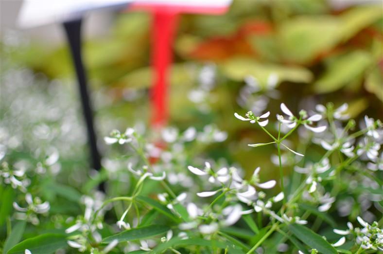 Loreen Series Euphorbia, Selecta, Euphorbia hypericiflolia, Photos by Amy Renea of A Nest for All Seasons