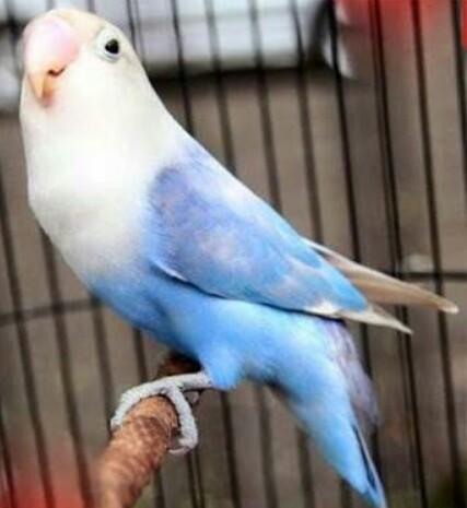 Inilah Cara Ampuh Pulihkan LoveBird Yang Macet Nggacor/Berbunyi