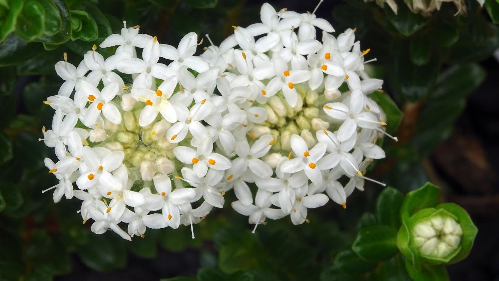 "9 Greenovia Mountain Rose Combo Korean Rare Succulent in 3/"" Metal Crown Pot"