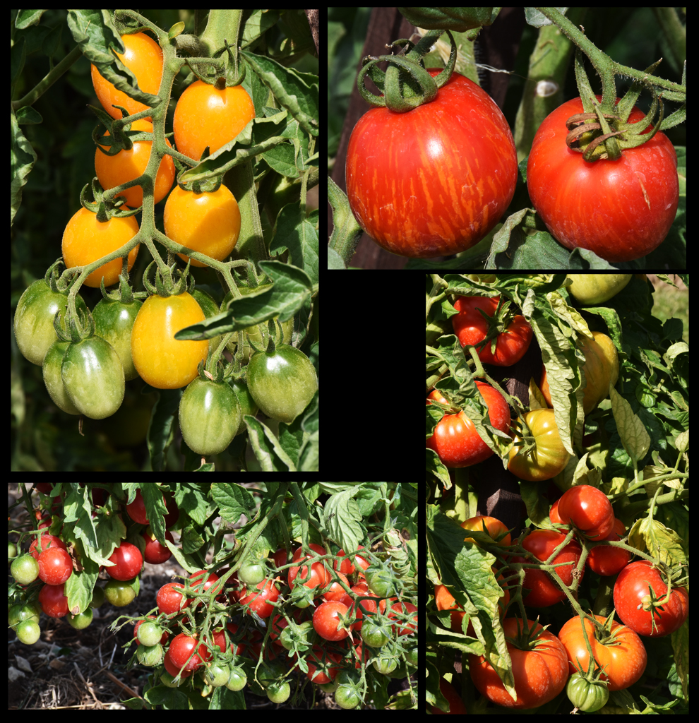 Amboise daily photo 2016 festival de la tomate - La bourdaisiere tomates ...