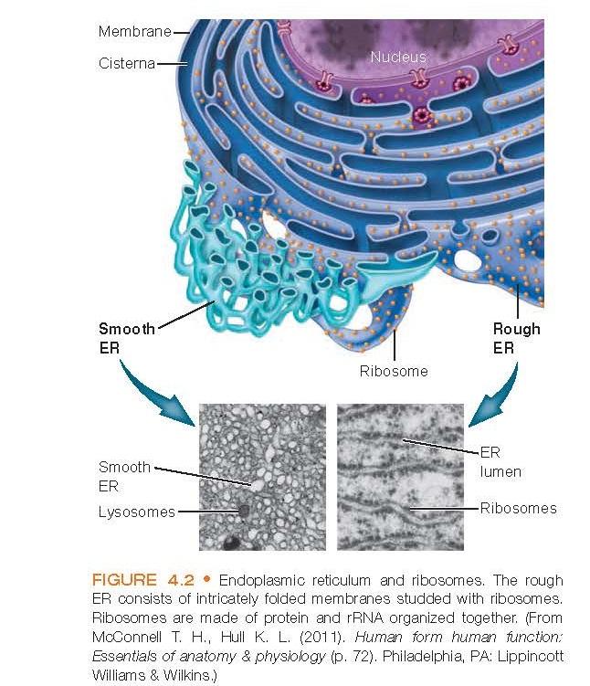 Endoplasmic reticulum and ribosomes