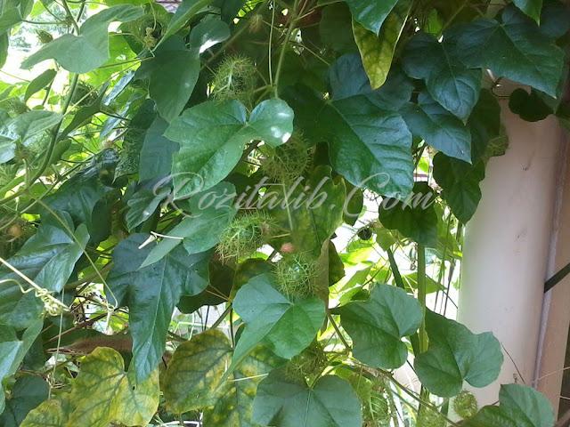 Pokok Letup-Letup Ulat Bulu