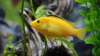 cara budidaya ikan lemon fish,jenis ikan hias lemon,budidaya ikan lemon siklid,ikan hias lemon fish,jenis ikan hias lemon,ternak lemon,ukuran ikan lemon,mengenal ikan lemon,ikan lemon biru,