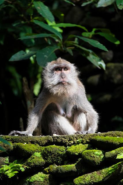 Scimmia nella Monkey forest-Ubud-Bali