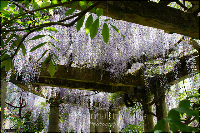 flowering wisteria at Exbury Gardens