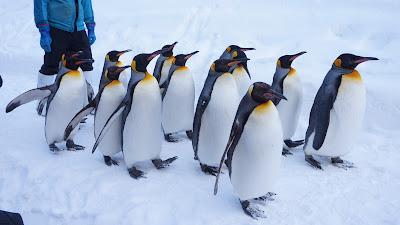 皆で歩くオオサマペンギン