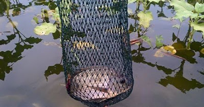 cara memancing ikan nila