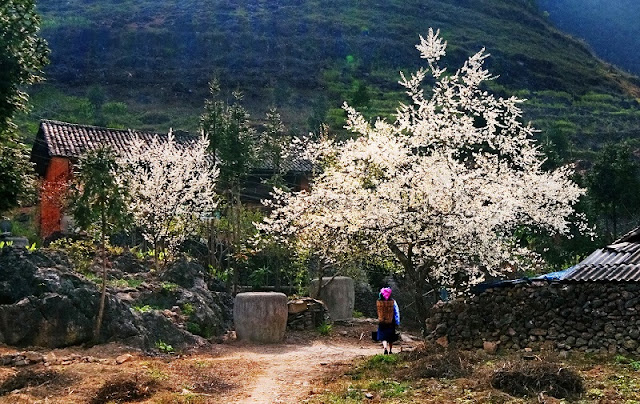 Peach, plum flowers blooming on the Plateau Ha Giang 3