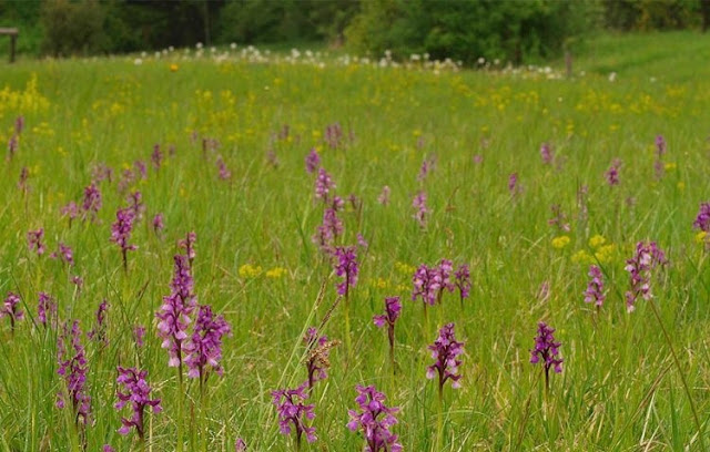 Albanian Salep, Orchis Morio plant facing the extinction